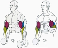 Варианты эффективных упражнений на бицепс с гантелями