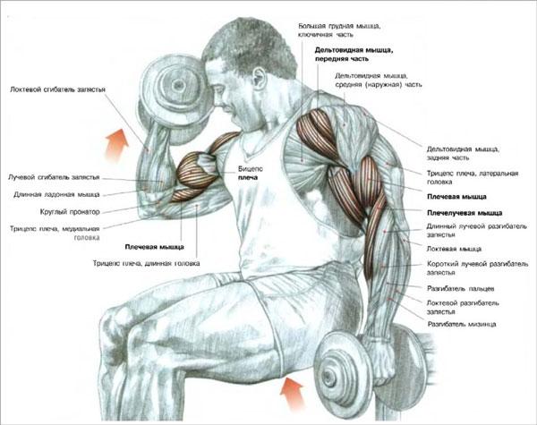 Тренировать бицепс на массу нужно каждому атлету, желающему иметь красивые и большие руки. Однако результативная прокачка должна проходить правильно.