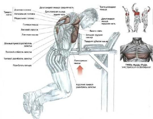 Мышцы, задействованные при отжиманиях на брусьях