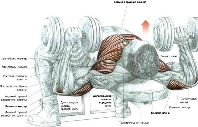Программа для прокачки грудных мышц