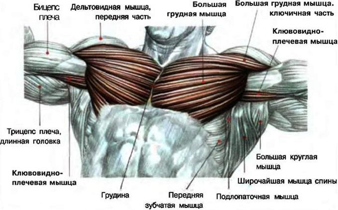 Мышцы грудной клетки, которые следует поддерживать в форме для красивого торса.