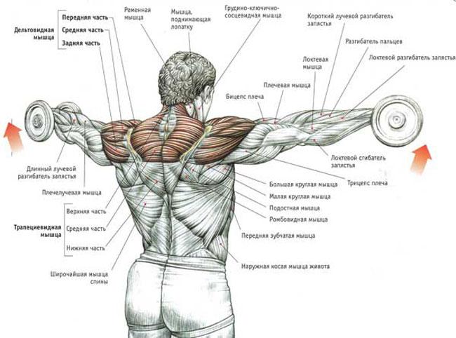 Упражнения на плечи в тренажерном зале в картинках 6